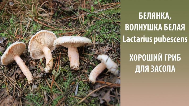Белянка Волнушка белая хороший гриб для засола Lactarius pubescens