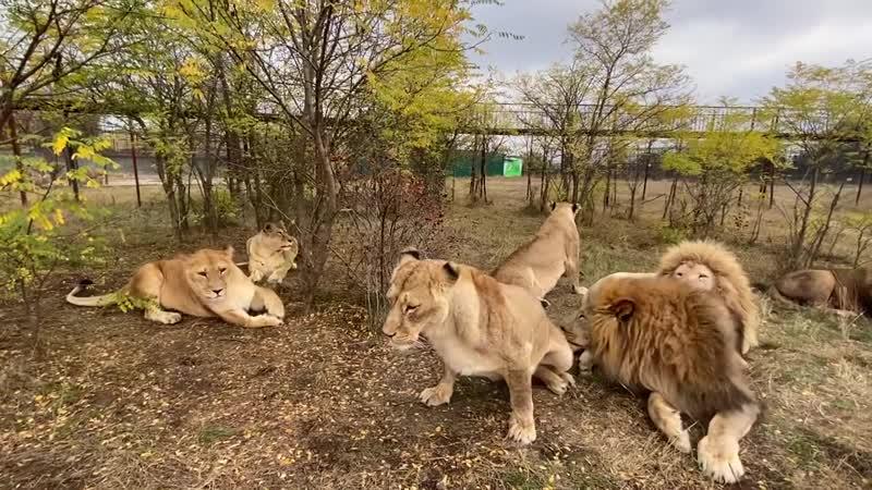 Как львица Клава РОЕТ СЕБЕ ЗЕМЛЯНКУ В САВАННЕ