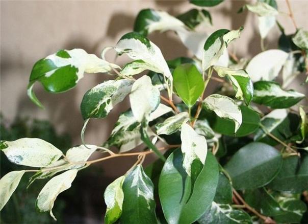 Если пестролистный фикус Бенджамина почти весь стал зеленым. Пестролистные формы декоративных растений требуют лучшего освещения, чем их зеленолистные сородичи. Поэтому пестролистный фикус