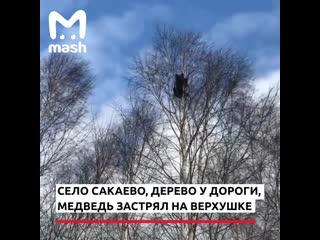 В Мордовии спилили дерево на котором сидел медвежонок, он погиб