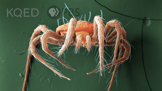 These Mites Rain Down To Save Your Strawberries | Deep Look