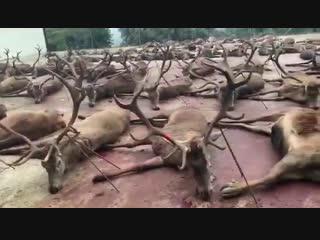 Когда людям становится тесно жить с животными. Охота, контроль над животными.   Эта резня происходит в Испании...