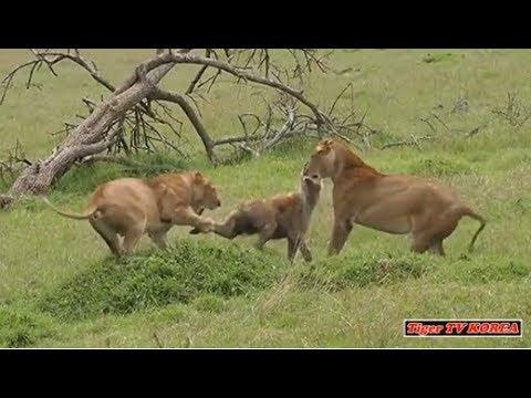 🔥사자 먹방을 물래 훔치다 처절하게 응징 당하는 하이에나들