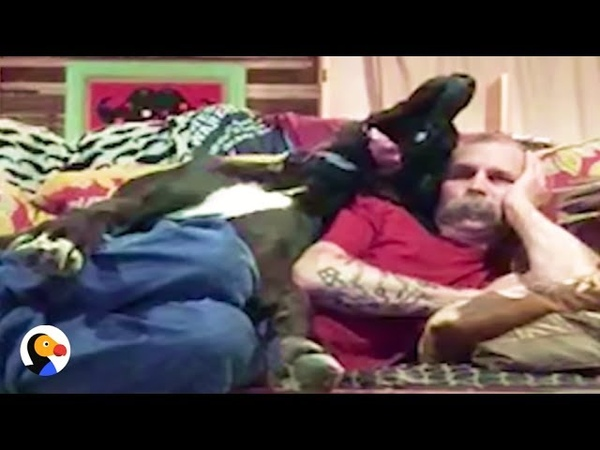 GIANT Great Dane Snuggles With Dad on Tiny Couch The Dodo