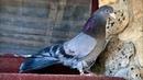 Николаевские голуби. Начало тренировок молодых 2021