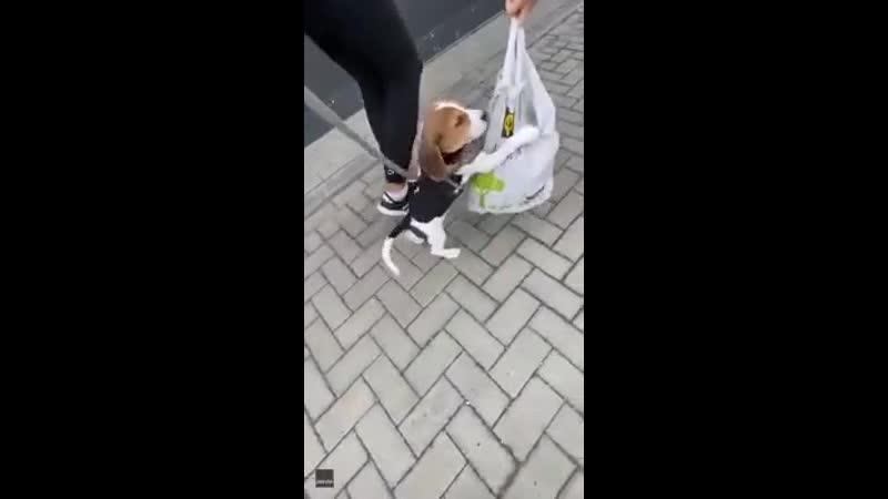 щенок бигля держит сумку с лакомствами на всю жизнь online video