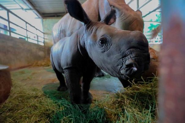Новорожденный детёныш белого носорога в вольере зоопарка Сингапура. Наши дни.