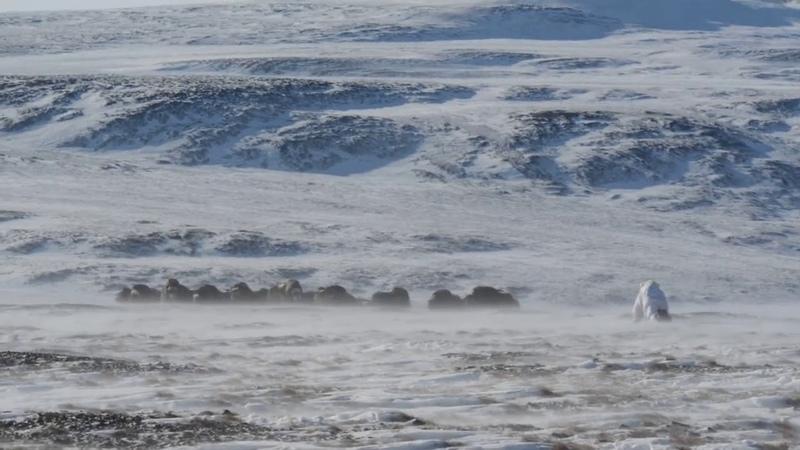 Аниматор для овцебыков в Арктике