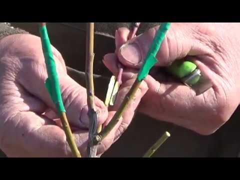 Прививка плодовых деревьев способом улучшенной копулеровки