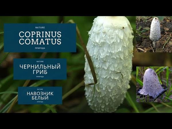 Coprinus comatus чернильный гриб навозник белый И это всё о нём
