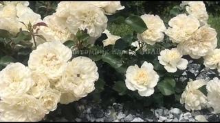 Цветение Роз Blanc Meillandecor, Rosarium Uetersen / питомник Елены ИВАЩЕНКО
