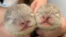 カワウソの赤ちゃんの健康チェックで萌え萌え Otter babys health check! So adorable!