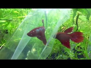аквариумная рыбка петушок петя зоомагазин в уфе март 2021 aquarium plants fish snails animals