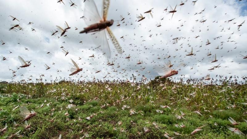 Ненасытная САРАНЧА поедает ВСЕ Откуда берутся и куда исчезают миллиарды насекомых