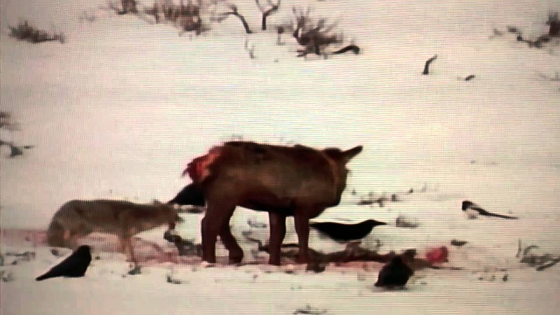 Coyotes eat a wounded Cow Elk