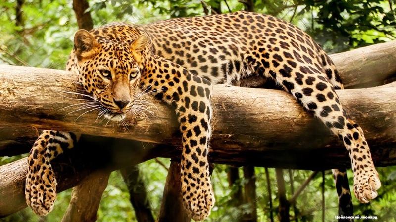 Цейлонский леопард дикая пятнистая кошка на острове Шри Ланка