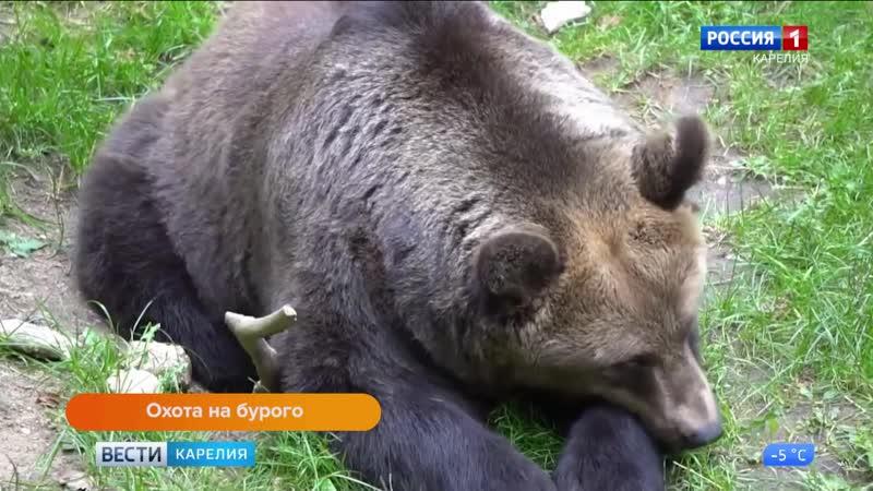 Открылся прием заявлений на весеннюю добычу бурого медведя