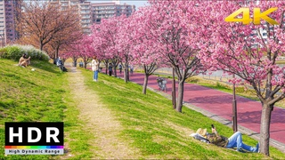 【4K HDR】Tokyo Cherry Blossoms 2021 - Sumida River Sakura - Minami-Senju