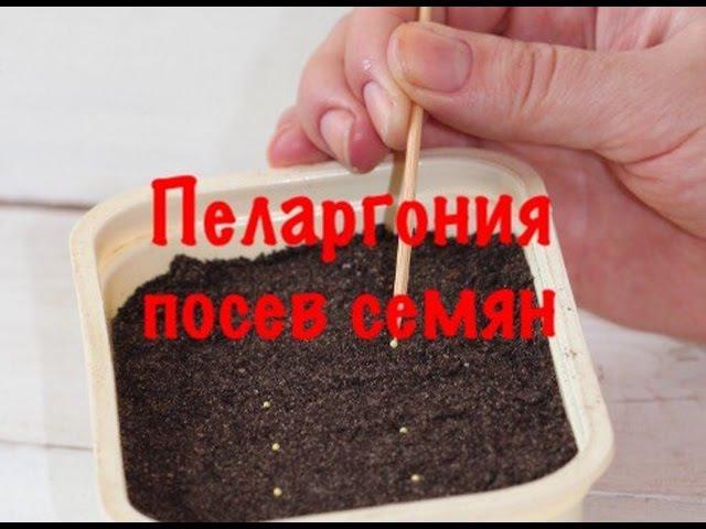 Пеларгония. Посев семян пеларгонии двумя способами.