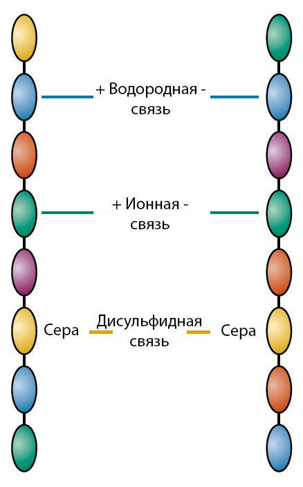 Химическое строение волоса, изображение №2