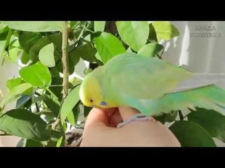 📚 Как подобрать второго волнистика    Как познакомить попугаев