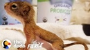 This Baby Squirrel's Smaller Than a AA Battery | The Dodo Little But Fierce