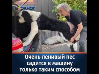 Ленивый пес