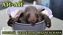 Руконожка Ай-ай: необычное животное Мадагаскара