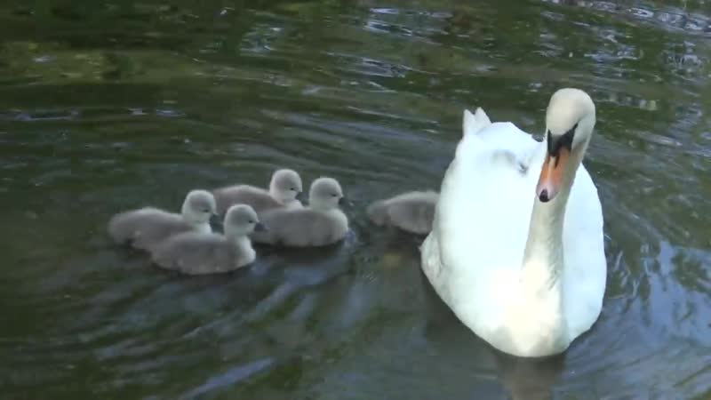 Baby swan's Cygnets hitching a ride off Mothership