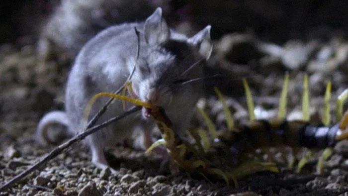 Кузнечиковый хомяк: Яд его не убивает, а тонизирует. Невероятный хищный хомяк кромсает скорпионов и многоножек