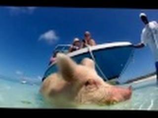 ► Свиньи на Багамах! Райская жизнь 🐷