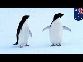 Гигантский айсберг погубил 150 000 пингвинов Адели