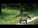 Chimpanzees tap dance of intimidation ?? Danses d'intimidation chez les chimpanzés face aux miroirs