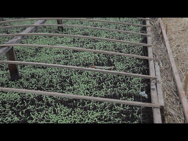 Боржавське десятки тисяч саджанців помідорів уже проростають в селі на Закарпа