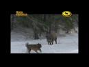 Охота с лайкой на кабана в Йошкар-Оле