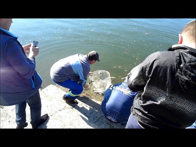 Зариблення міського озера 2017 - Короп