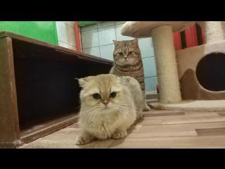 ВЯЗКА ШОТЛАНДСКИХ КОТОВ_ кот Сапфир с кошкой Фифой делают котяток _)