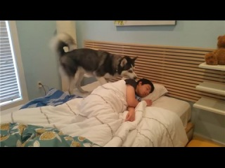 """""""Dogs Alarm Clocks - Dogs waking up Owners'' - Funny Dog Compilation 2017"""