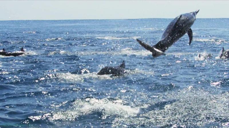 BBC «Дельфины: Шпион в стае» (1 серия) (Познавательный, природа, животные, 2014)
