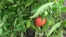 Опыт выращивания помидора сорта ТЯЖЕЛОВЕС СИБИРИ в открытом грунте