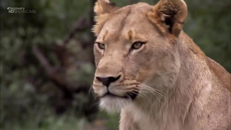 Дикая Африка Опасные животные Документальный фильм national geographic nat geo discovery bbc