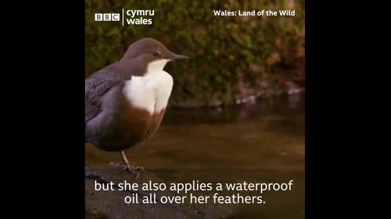 Dippers have the amazing ability to swim and catch fish under water