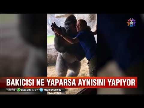 Dünyanın en yetenekli gorili bakıcısının bütün hareketlerini taklit ediyor