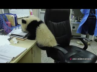 What will happen when a panda cub comes to your office