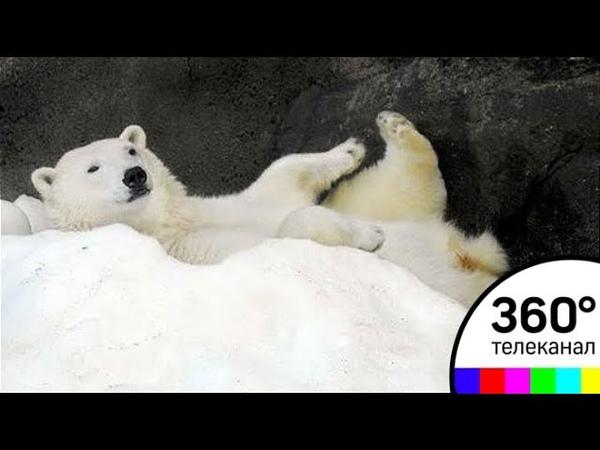 В московском зоопарке белые медведи прячутся от жары в сугробах