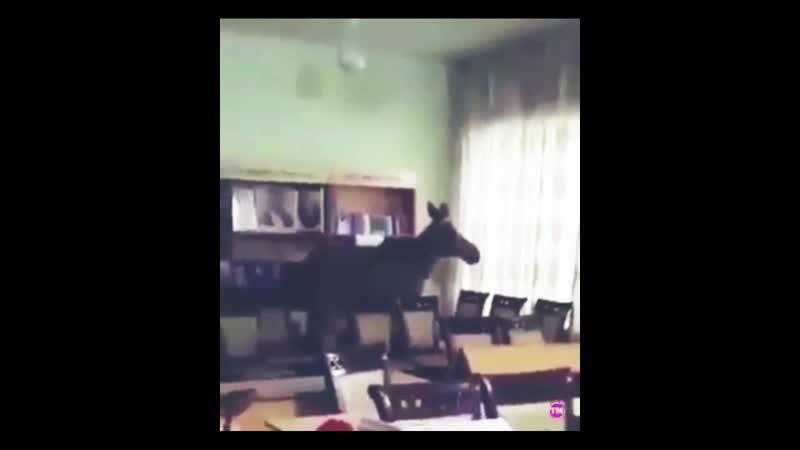 Семей қаласында бұғы кітапханаға кіріп кетіпті В Семее лось залез в библиотеку