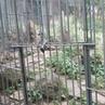 Алексей Моргачев on Instagram тиграмур самый извесиный тигр в мире Послушайте как он рычит Все животные как в дикой природе несколько ра