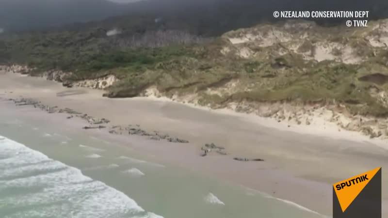 Дельфины-гринды