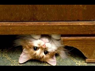 Шотландские кошки. Котята продаются. Малышам 3 месяца.