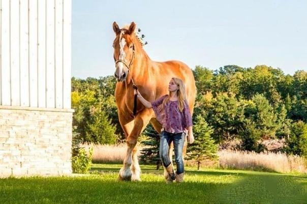 Большой Джейк, самая высокая лошадь в мире Большой Джейк из породы брабансонов из штата Висконсин, достигает в холке 2,17 метров в высоту и более 1 тонны по весу. По словам хозяина животного,